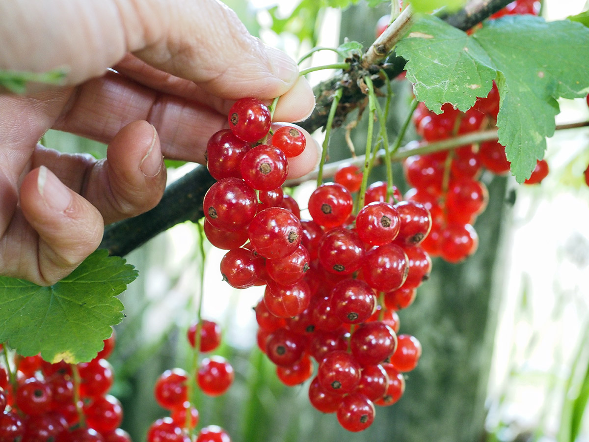 2021 red currants